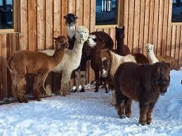 alpaca e lama livigno