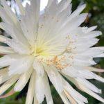 Raro cactus dell'Amazzonia fiorisce per la prima volta nel Regno Unito: perché è un evento eccezionale [FOTO e VIDEO]