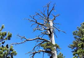 italus albero più antico europa