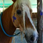 I cavalli si riconoscono allo specchio?