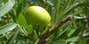 argan-frutto