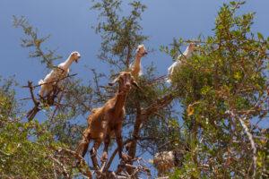 capre-albero-argan