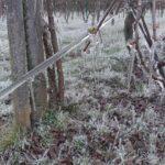 Meteo, temperature fino a -9°C e gelate in Veneto: colture devastate dal freddo, azzerata la produzione di kiwi nel Veronese [FOTO]