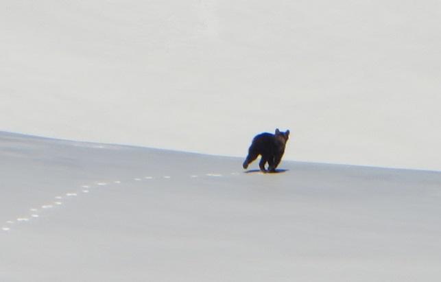 orso velino