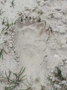 Impronta orso Lucito