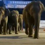 Branco di elefanti irrompe in città dopo un viaggio di 400km: a spasso per le strade di Yuxi, residenti evacuati in Cina [FOTO e VIDEO]