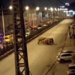 Branco di elefanti crea scompiglio in Cina: caos a Kunming dopo Yuxi, strade bloccate con barricate [FOTO]