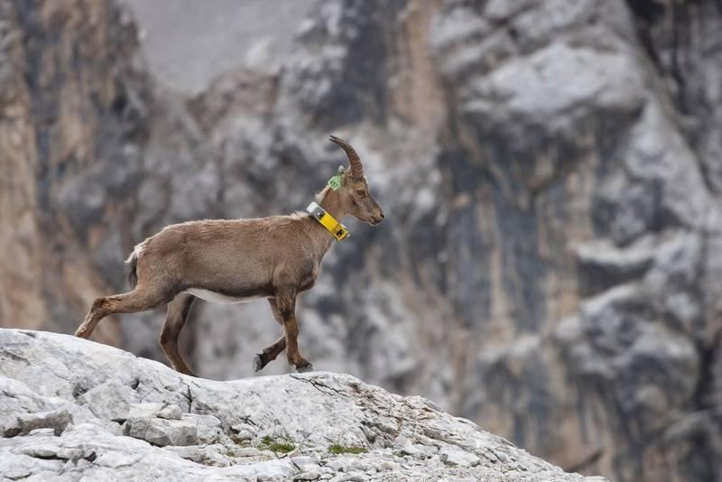 cambiamento climatico e ungulati sulle Alpi