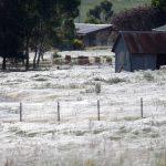 'Apocalisse' in Australia per l'invasione di ragni: le ragnatele hanno ricoperto tutto, come se fosse neve [FOTO & VIDEO]