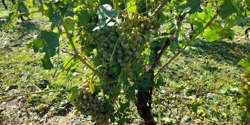 asti agricoltura grandine uva
