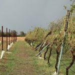 Maltempo, furiose grandinate nel Mantovano: chicchi come albicocche e forte vento mettono in ginocchio l'agricoltura – FOTO
