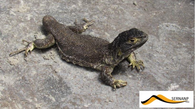 nuova specie lucertola perù